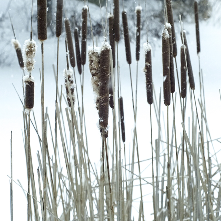 Cattails in the pond in winter