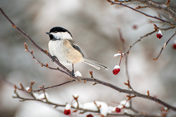Chickadee sitting on a branch in winter.