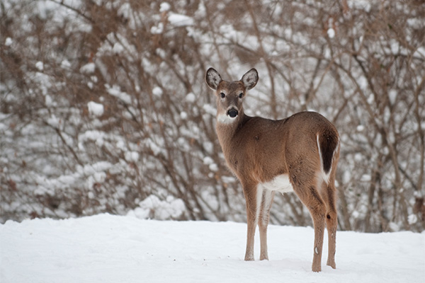 White-tailed deer, female, stands in the snow against a wintry background.