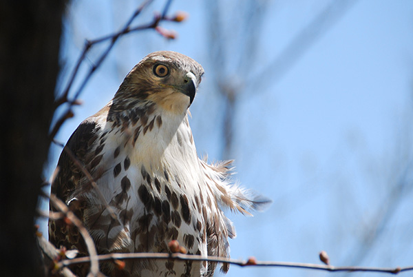 REd-tailed hawk perched in a tree. Photo taken by Mike Derblich.