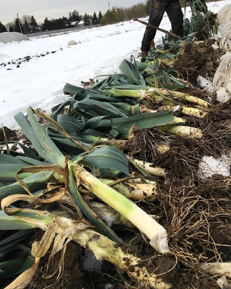 Leeks on the farm at Joyfully Organics