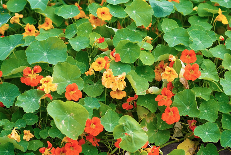 Nasturtiums growing in a garden bed