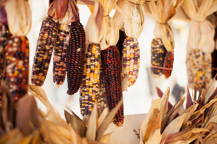 Purple corn hanging to dry