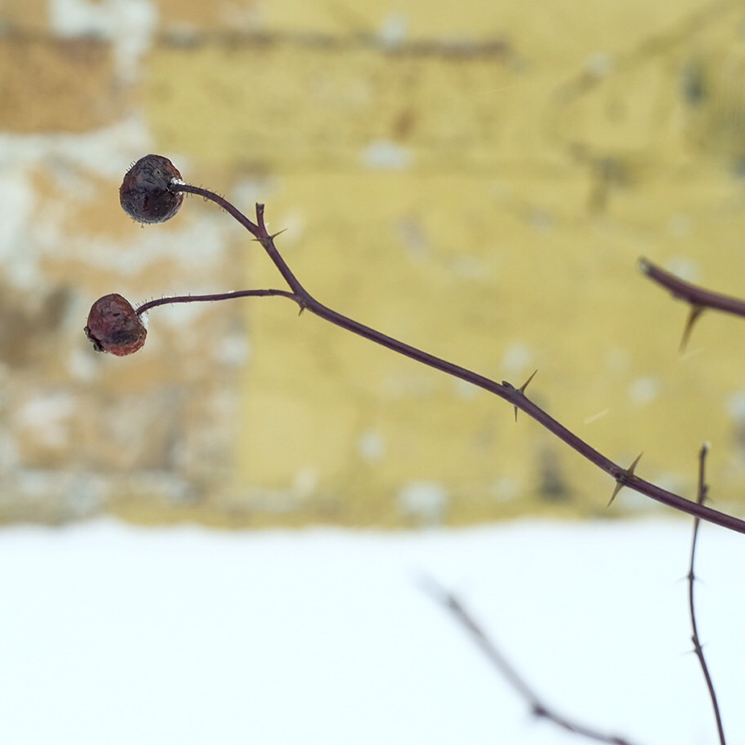 Rosehips and thorns against a brick wall in the winter