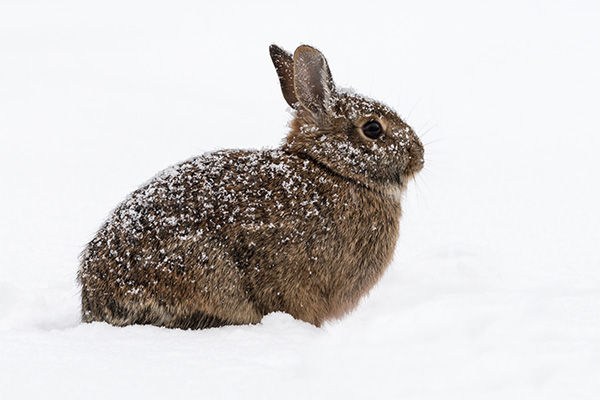 An eastern cottontail rabbit sitting in the snow.