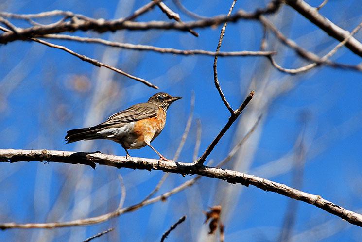 Robin sitting in a tree. Photo taken at Evergreen Brick Works by Mike Derblich.