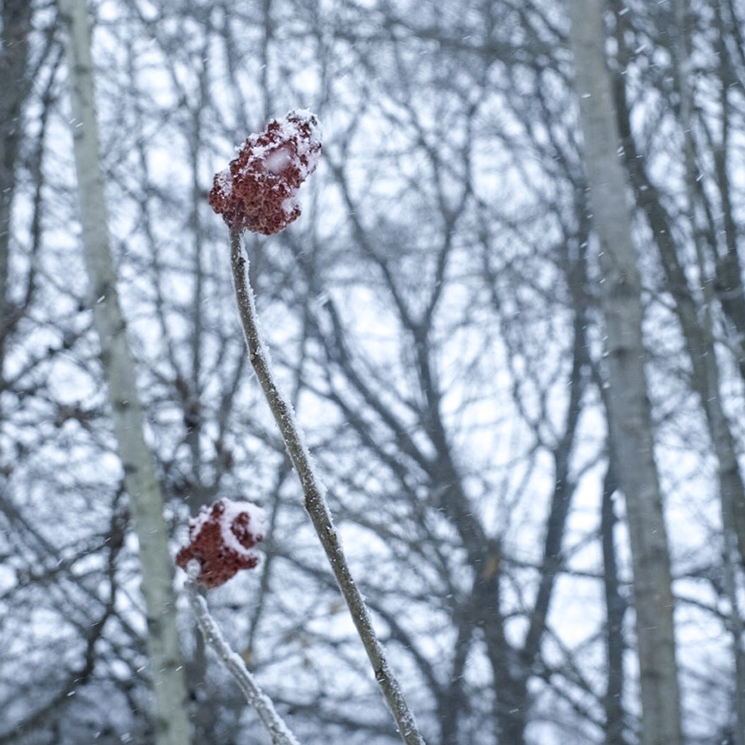 Red sumac fruit in the winter