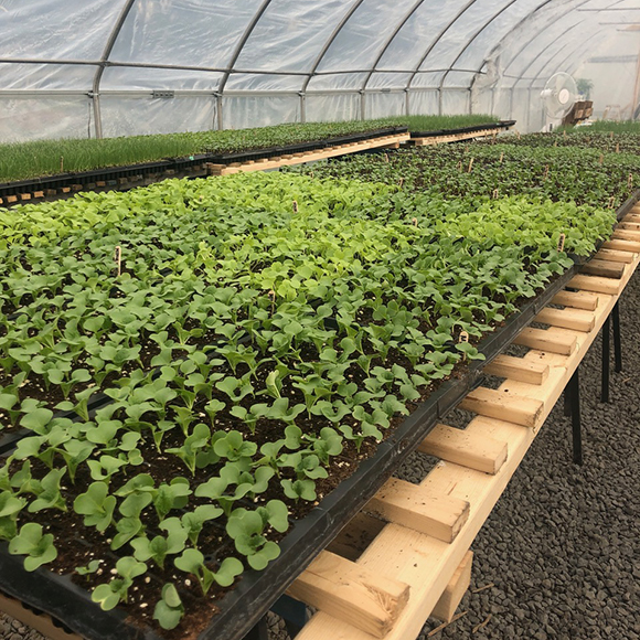 Seedlings in the greenhouse at Joyfully Organic Farm