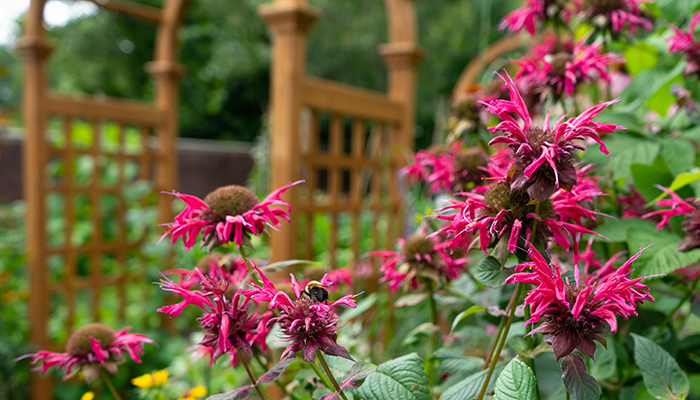 bee balm in thrive garden