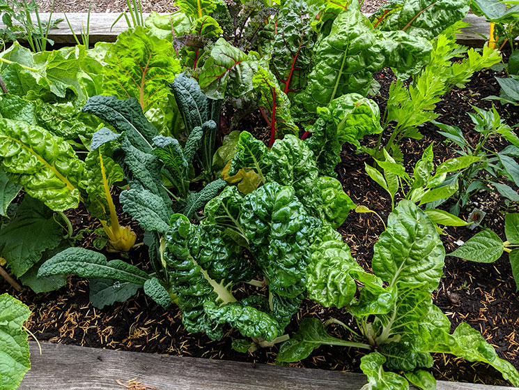 Lettuce growing at Vancouver City Hall Community Garden