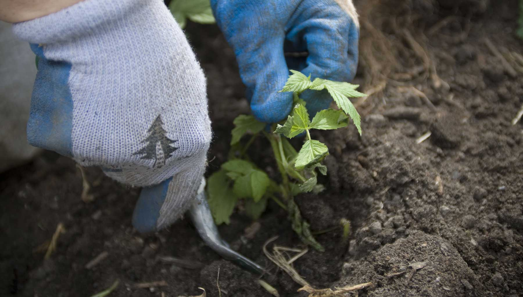 A volunteer wearing Evergreen branded gloves planting a native plant in the ground.