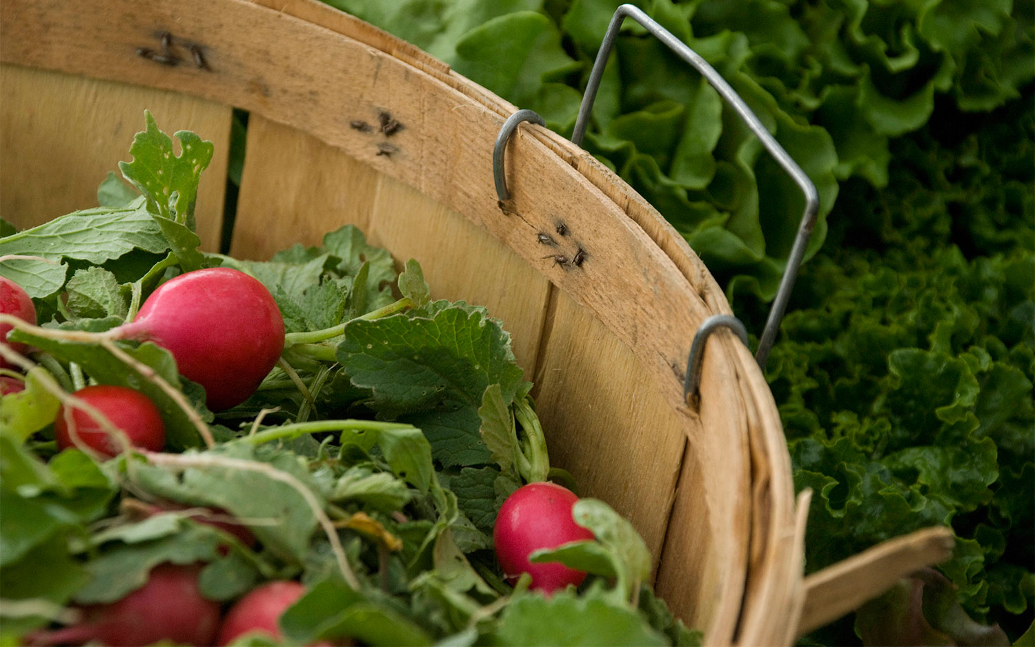 Radishes in a basket surrounded by lettuce.