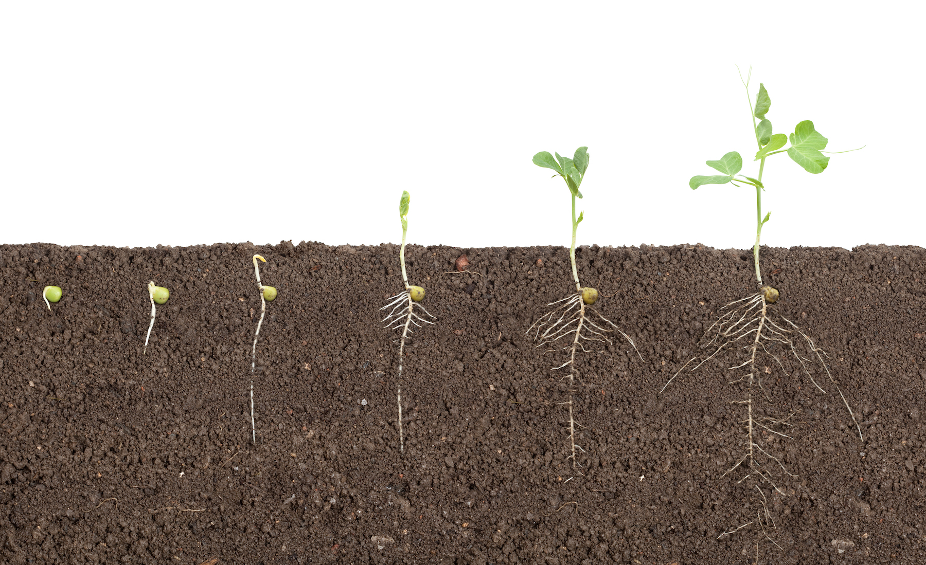 seedlings germinating in soil with roots visible