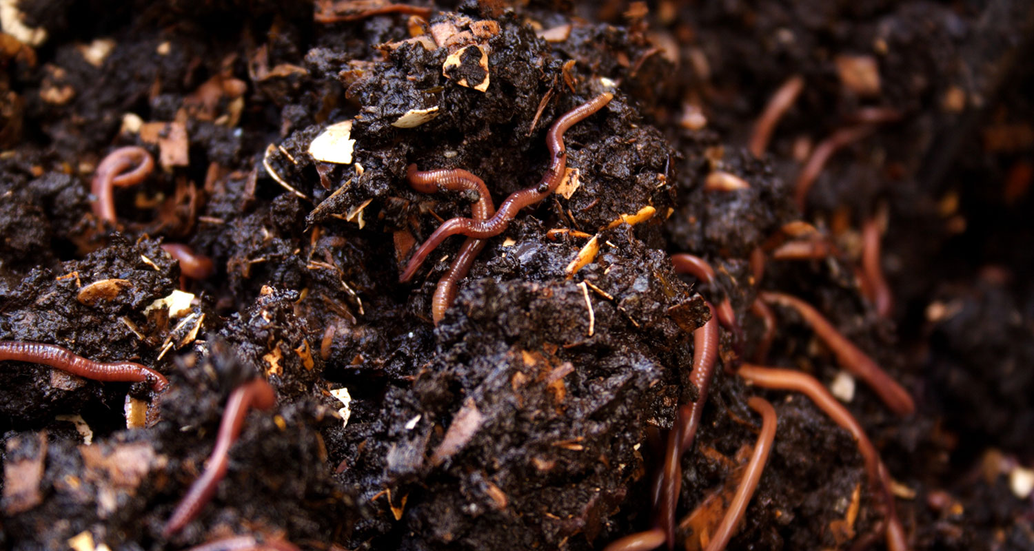 worms in a pile of compost