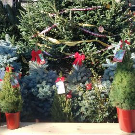 Living Christmas trees on display at Evergreen Garden Market.