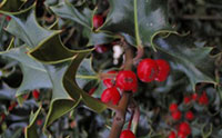 English Holly (Photo: Laura Smit)