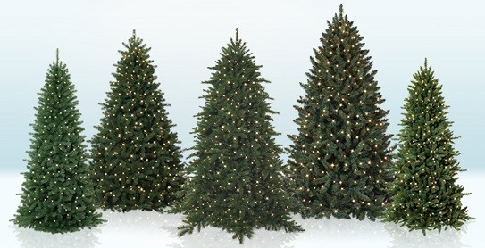 how to pick the perfect christmas tree evergreen - Different Kinds Of Christmas Trees