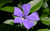Periwinkle (Photo: Court Noxon)