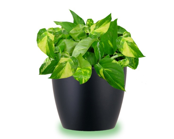 5 indoor houseplants that will help you breathe easy | Evergreen on chinese evergreen watering, red chinese evergreen plant, chinese evergreen leaf, japanese evergreen plant, snake plant, chinese evergreen bamboo, chinese money plant, chinese evergreen seeds, chinese evergreen crete, chinese evergreen tree, chinese evergreen indoor plant, chinese potted plant, chinese fan palm california, wandering jew plant, english ivy plant, chinese evergreen aglaonema, chinese evergreen flower, chinese evergreen leaves turning yellow, chinese flowers and plants,