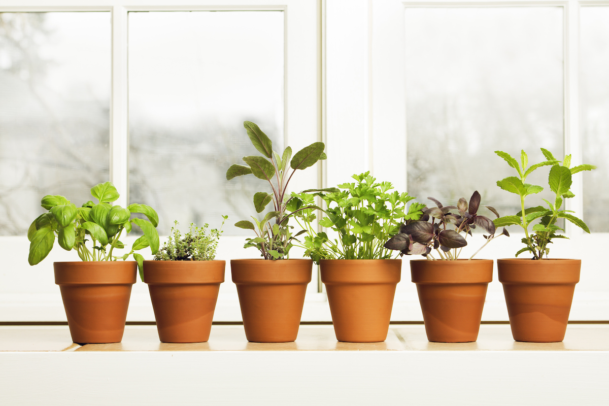 bright green herbs in little clay pots on a window sill