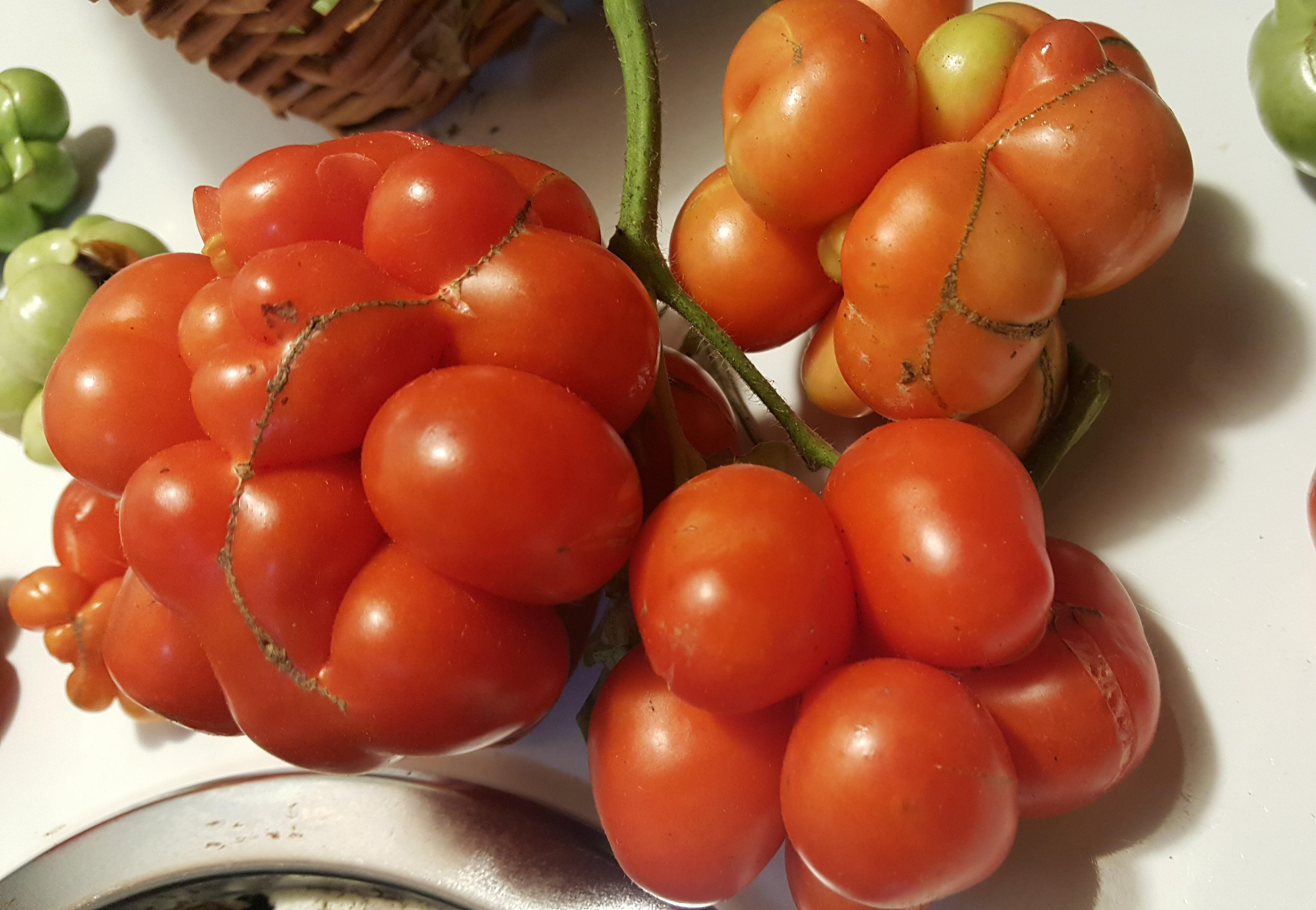 Traveller tomatoes.