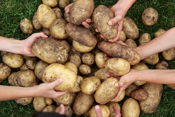 Potatoes from Myrtle Philip Community School, Whistler, British Columbia