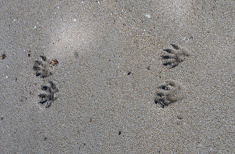 Raccoon tracks. Photo: Wikimedia Commons