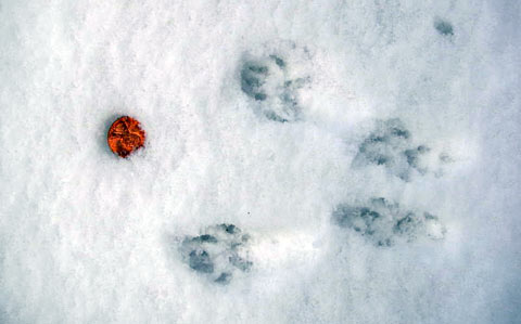Squirrel tracks in the snow. Photo: Wikimedia, Creative Commons.