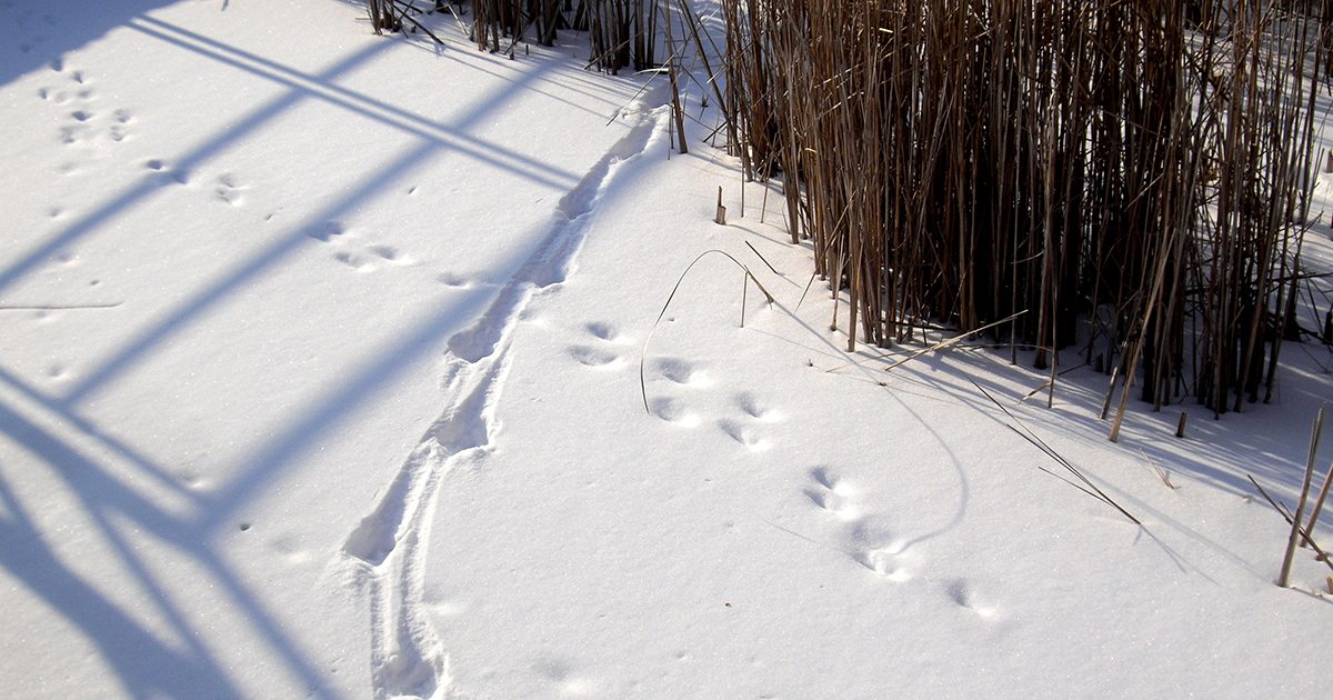 Animal tracks imprinted in the snow. Image: Mike Derblich