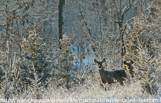 White-tailed deer standing in a wintry field.