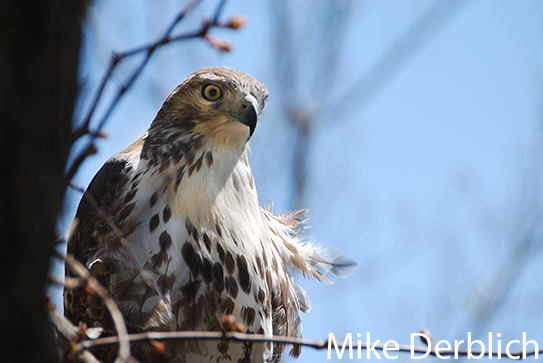 Photo of a red tail hawk glaring at the camera. Photo taken by Mike Derblich.