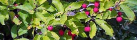 Berries and foliage of mountain holly. Photo: Brenda Taylor.