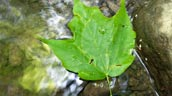 Maple leaf in water. Photo: Alisa Oventhal.